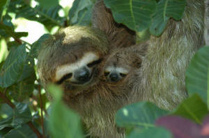 mother_and_baby_sloth_small